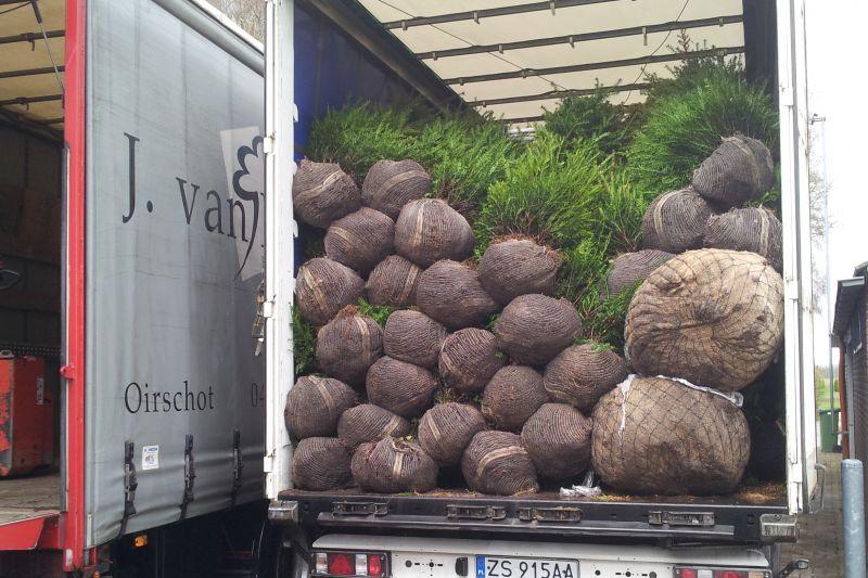 Coniferen gereed voor transport.